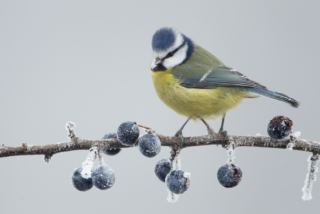 Blue Tit Parus caeruleus perched with raised crest on heavily frosted Blackthorn Prunus spinosa branch covered in frozen Sloes, Shropshire, England