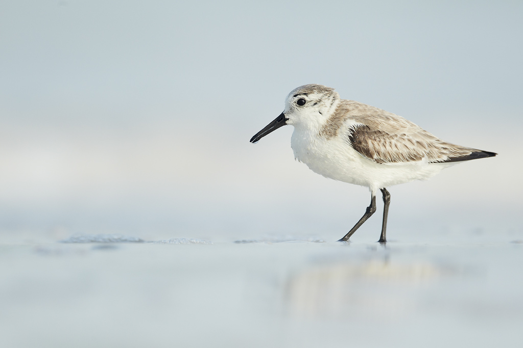 Sanderling (Calidris alba) in winter plumage feeding in shoreline waters on beach, Florida