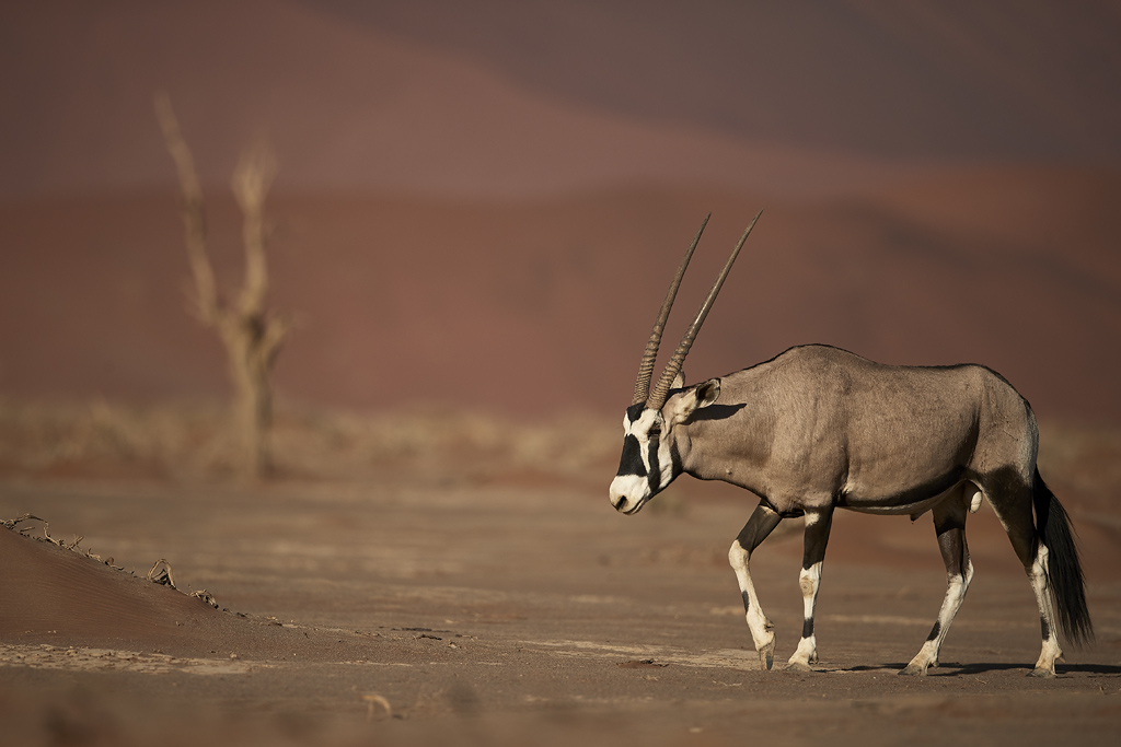 Gemsbok in desert habitat
