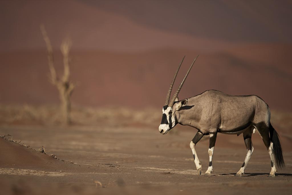 Gemsbok in desert habitat